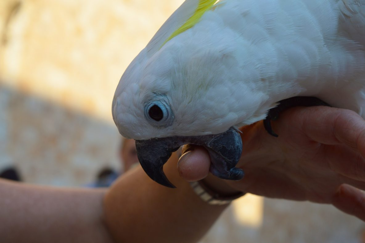 Stop the Bloodshed: 4 Steps to Stop Parrot Biting Now ... - photo#31