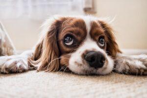 dog nosework sleepy nose cavalier charles spaniel