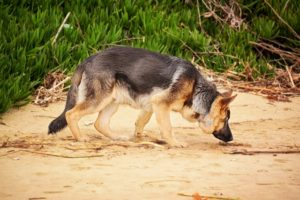 dog nosework german shepherd sniffing