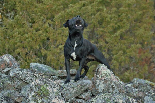 dog bark and lunge howl reactivity