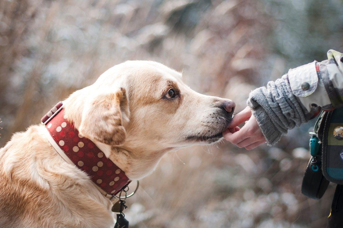 hand shy dog