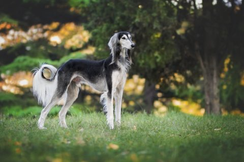 skittish saluki help scared dog