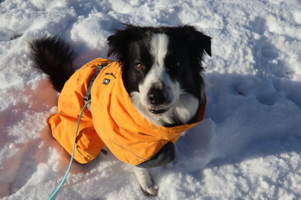 Barley the border collie wearing an orange Hurtta Expedition Parka, sitting in the snow.