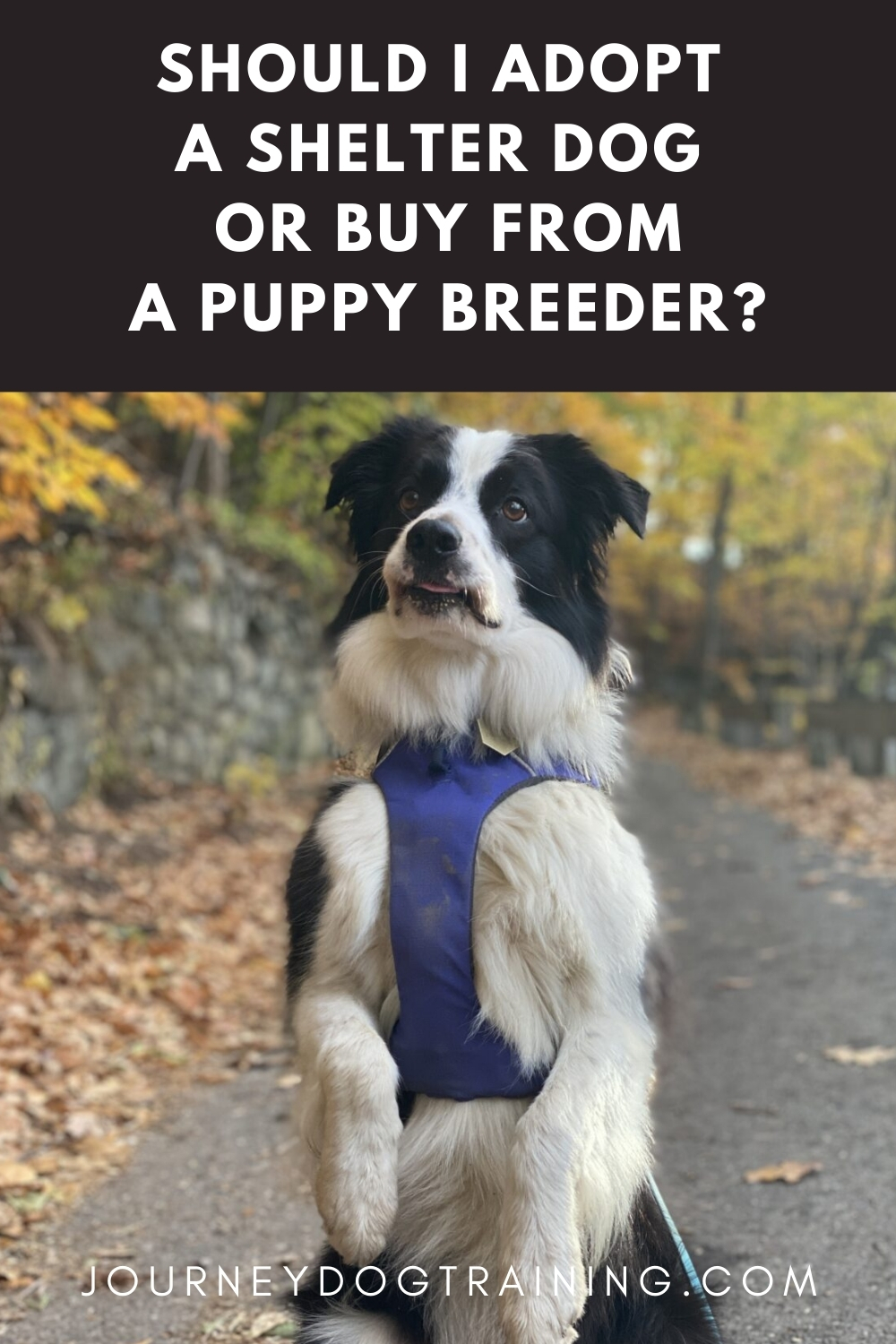 should i adopt a shelter dog or buy from a puppy breeder? | journeydogtraining.com